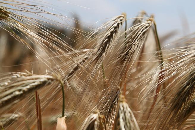wheat-809441_1920